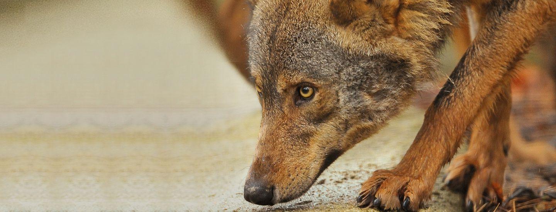 Les jours les plus loups © MNHN - François-Gilles Grandin