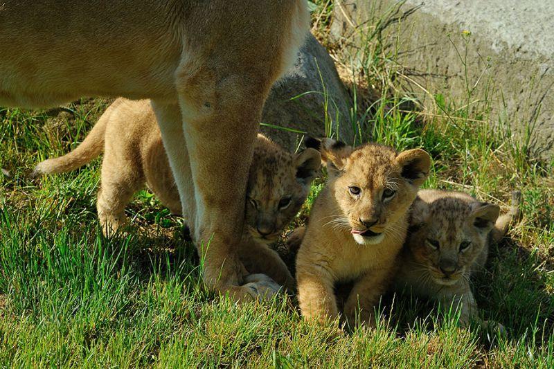 Première sortie des lionceaux © F-G Grandin - MNHN