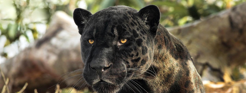 Aramis le jaguar parc zoologique de paris for Animaux jardin des plantes