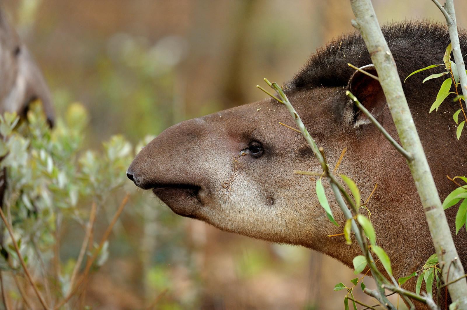 The tapir | Parc Zoologique de Paris